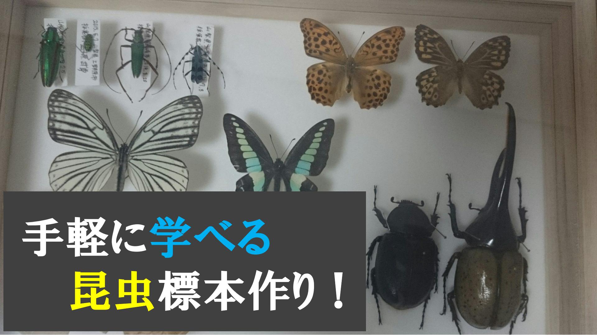 昆虫採集&昆虫標本作成プログラム開催します!